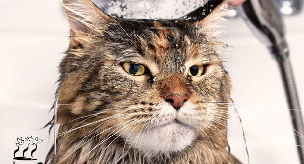 چرا گربه ها از آب متنفر هستند؟