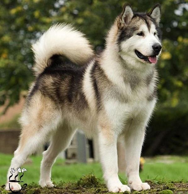 سگ هاسکی برای پروفایل