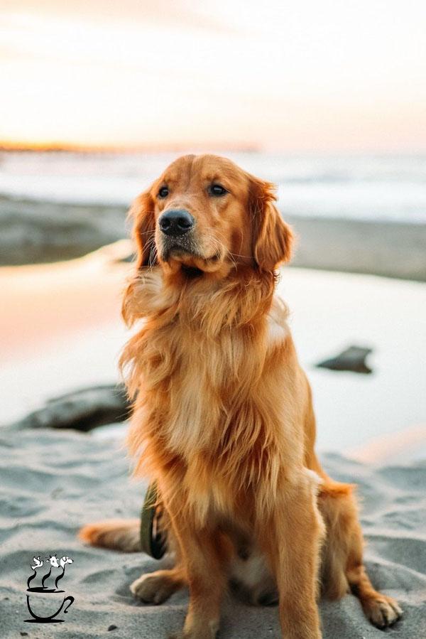 خصوصیات سگ گلدن رتریور