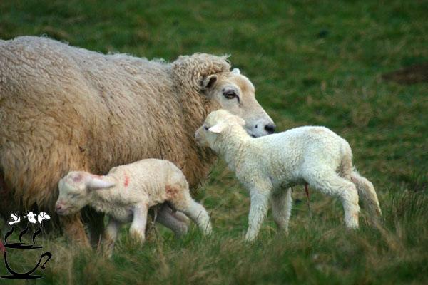 سقط جنین گوسفندان