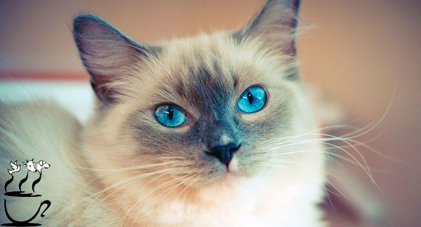 گربه نژاد رگدال
