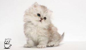 گربه پرشین