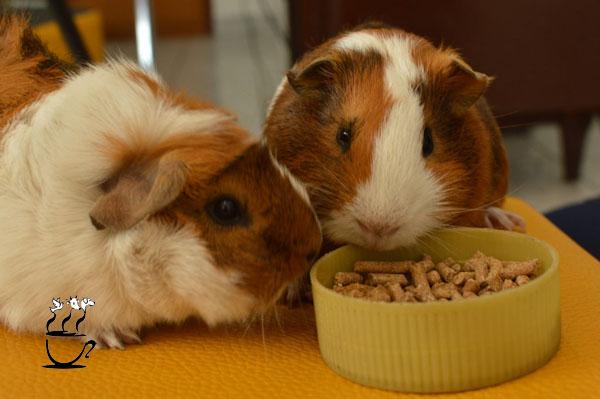 غذای خوکچه هندی و همستر