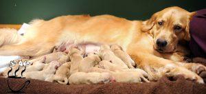تغذیه سگ باردار