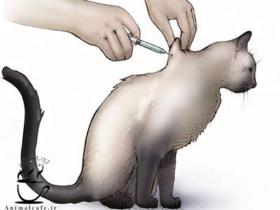 نحوه تزریق انسولین به گربه