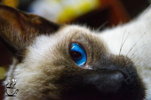 گربه سیامی